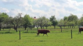 Grazing cows on a green field near a blossoming apple garden stock footage