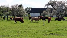 Grazing cows on a green field near a blossoming apple garden stock video footage