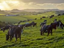 Grazing cows in green meadow of hilly countryside. During sunset in new zealand Stock Images