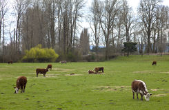 Grazing cows and green pastures, Oregon. Stock Image