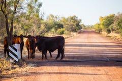 Grazing Cows Royalty Free Stock Photos