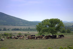 Grazing cows herd. On Balkan Mountains field in the tree shade on hot summer day.Picture taken on July 9th,2014,Bulgaria Stock Photos