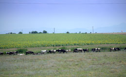 Grazing cows herd. Near sunflower fields.Picture taken on July 9th,2014,Bulgaria Royalty Free Stock Image