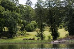 Grazing cows Stock Image