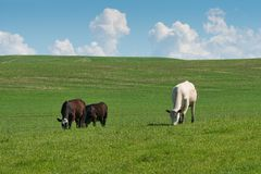 Grazing. Cows grazing on a hillside, Palouse, Washington Stock Photos