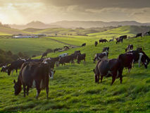 Grazing cows in hilly countryside. Cows during sunset in new zealand countryside Royalty Free Stock Photo