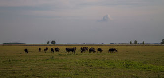 Grazing Cows in a huge field. Royalty Free Stock Photography