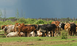 Grazing cows in Kenya Royalty Free Stock Image