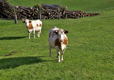 Grazing cows. On lush green pastures Royalty Free Stock Photo