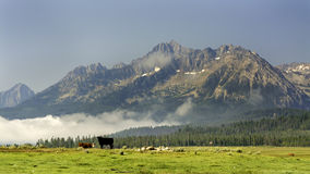 Grazing cows in the magnificent mountains of Idaho Royalty Free Stock Image