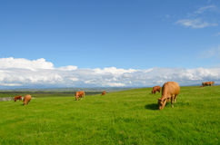 Grazing cows in the meadow Stock Images