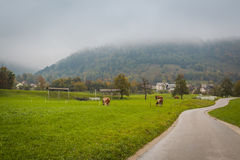 Grazing cows. Royalty Free Stock Photography