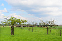 Grazing cows in meadow Royalty Free Stock Image