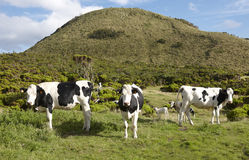 Grazing cows in a meadow. Green landscape in Azores. Portugal Stock Photography