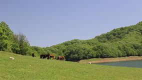 Grazing cows in the meadow in Lankaran Azerbaijan stock video footage