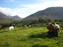 Grazing Cows in Ireland. Grazing cows in a meadow with mountains in the background stock image
