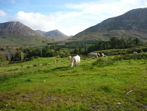 Grazing Cows in Ireland. Grazing cows in a meadow with mountains in the background royalty free stock image