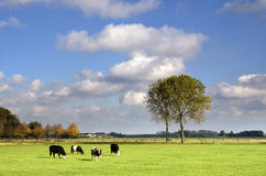 Grazing cows in a meadow Royalty Free Stock Photos