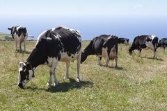 Grazing cows in a meadow. Sao Jorge island. Azores. Portugal Royalty Free Stock Image