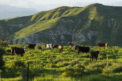 Grazing cows in meadows in the mountains at sunset by Kinneret lake. Grazing cows on the hills of the Golan Heights on the shore of Lake Kinneret, Israel Stock Photo