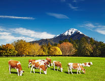 Grazing cows Royalty Free Stock Image