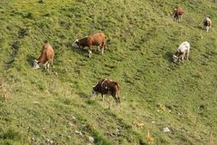 Grazing cows on a mountain side Royalty Free Stock Image