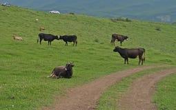 The grazing cows Stock Photos