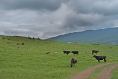 The grazing cows Royalty Free Stock Photos