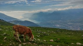Grazing cows near a lake. Grazing summer cows in a mountain pasture during the summer. The calm of the animal. Beautiful Trentino landscape Stock Photography