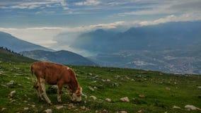Grazing cows near a lake. Stock Photography