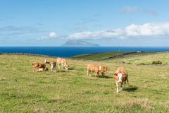 Cows near Ponta Delgada on the island of Flores in the Azores, Portugal Royalty Free Stock Image