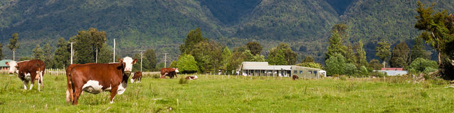 Grazing cows - New Zealand. Grazing cows, rural landscape, Fox Glacier, West Coast, South Island, New Zealand Stock Photography
