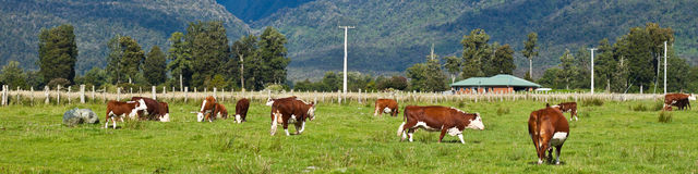 Grazing cows - New Zealand. Grazing cows, rural landscape, Fox Glacier, West Coast, South Island, New Zealand Royalty Free Stock Photography