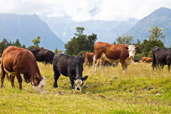 Grazing cows in New Zealand Royalty Free Stock Photography