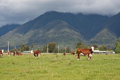 Grazing cows in New Zealand. Grazing cows, rural landscape, Fox Glacier, West Coast, South Island, New Zealand Royalty Free Stock Images