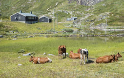 Grazing cows in the norway nature Royalty Free Stock Image