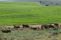 Grazing Cows in Pastoral Landscape Royalty Free Stock Photography