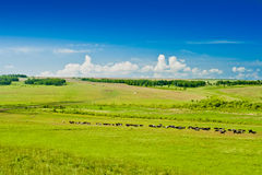 Grazing cows on pasture. Blue sky and clouds Royalty Free Stock Images