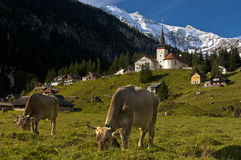 Grazing cows on a pasture in the Alps. Grazing cows on a pasture near a mountain village with church against snow-covered peaks in the Swiss Alps, Canton of Uri Stock Image
