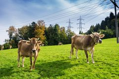 Grazing cows on pasture. Stock Image