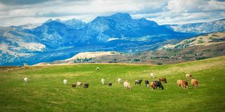 Grazing cows on a pasture near a mountain village stock photography