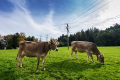 Grazing cows on pasture. Stock Photos