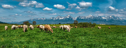 Grazing cows. Pasture of cows under the Tatras, Slovak mountains Royalty Free Stock Photography