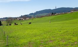Grazing cows Switzerland. Grazing cows, Pont-en-Ogoz, canton Fribourg, Switzerland Royalty Free Stock Photography