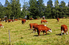 Grazing cows in rural landscape Royalty Free Stock Photos
