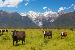 Grazing cows with Southern Alps in the background, New Zealand Royalty Free Stock Images