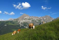 Grazing cows and Spitzhorn Royalty Free Stock Image