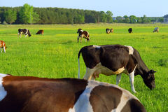Grazing cows on spring field Stock Image