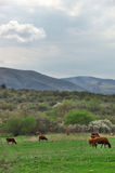 Grazing cows. Spring landscape with cloudy sky, mountains and grazing cows Stock Photography