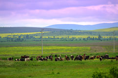 Grazing cows summer fields landscape Royalty Free Stock Photo